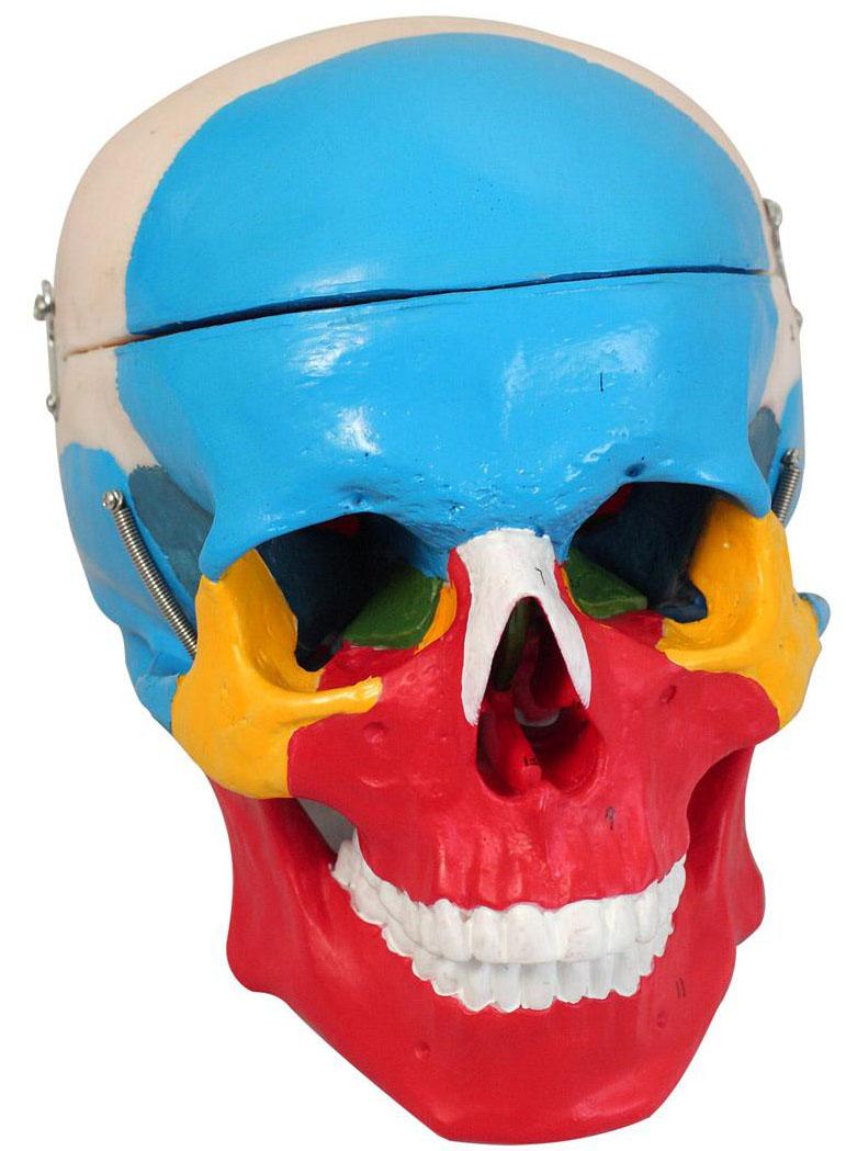 颅骨侧面观手绘图